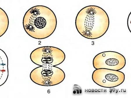 Деление клеток: описание основных процессов Митоз/Мейоз/Амитоз
