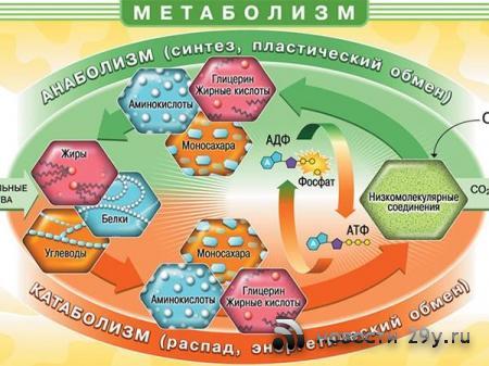Метаболизм что это такое, простым языком, как его улучшить?